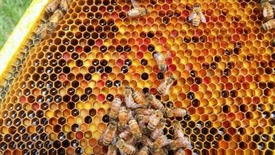 اعجازعلمی قرآن در جانور شناسی (2) : زنبور عسل